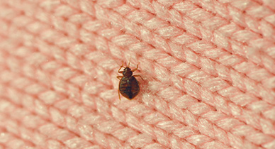 Bed Bugs May Now be Resistant to Insecticides