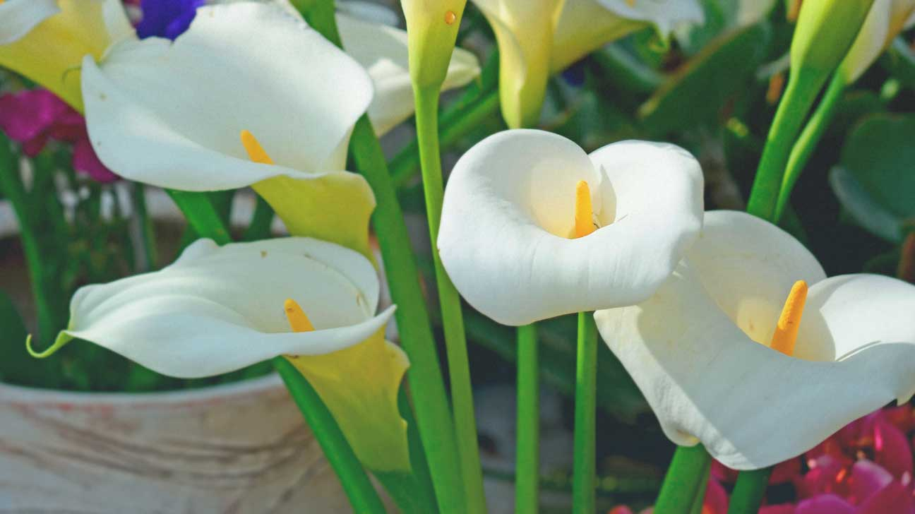 Peace lilies image