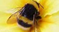 bee in a flower - polin and bee sting allergies