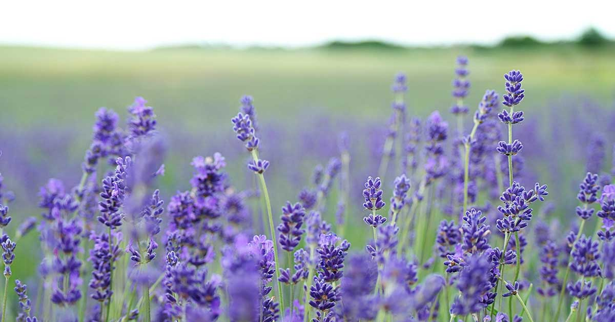 Lavender Oil For Hair Hair Growth And Other Uses