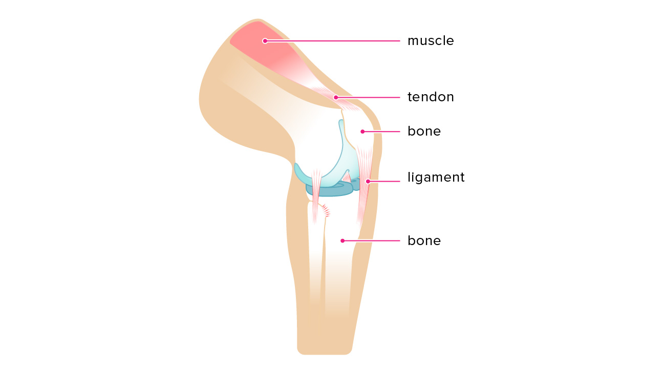 Ligament vs. Tendon