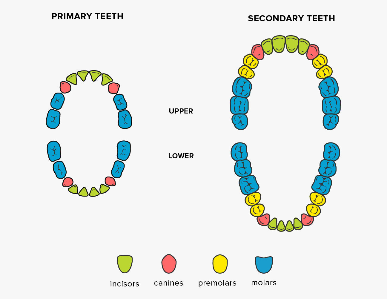 Teeth names shape and function of four types of teeth diagram teeth names ccuart Choice Image