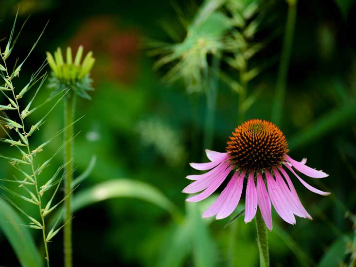 Echinacea Benefits Uses Side Effects And Dosage