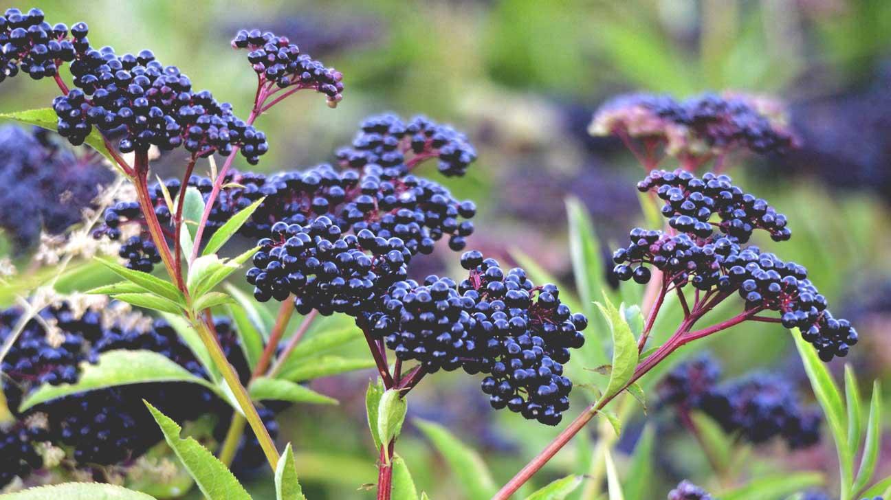 Elderberry Plant and Berries