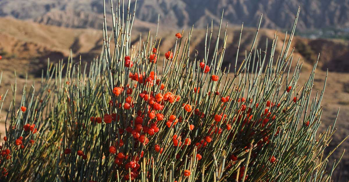 Ephedra (Ma Huang): Weight Loss, Dangers, and Legal Status