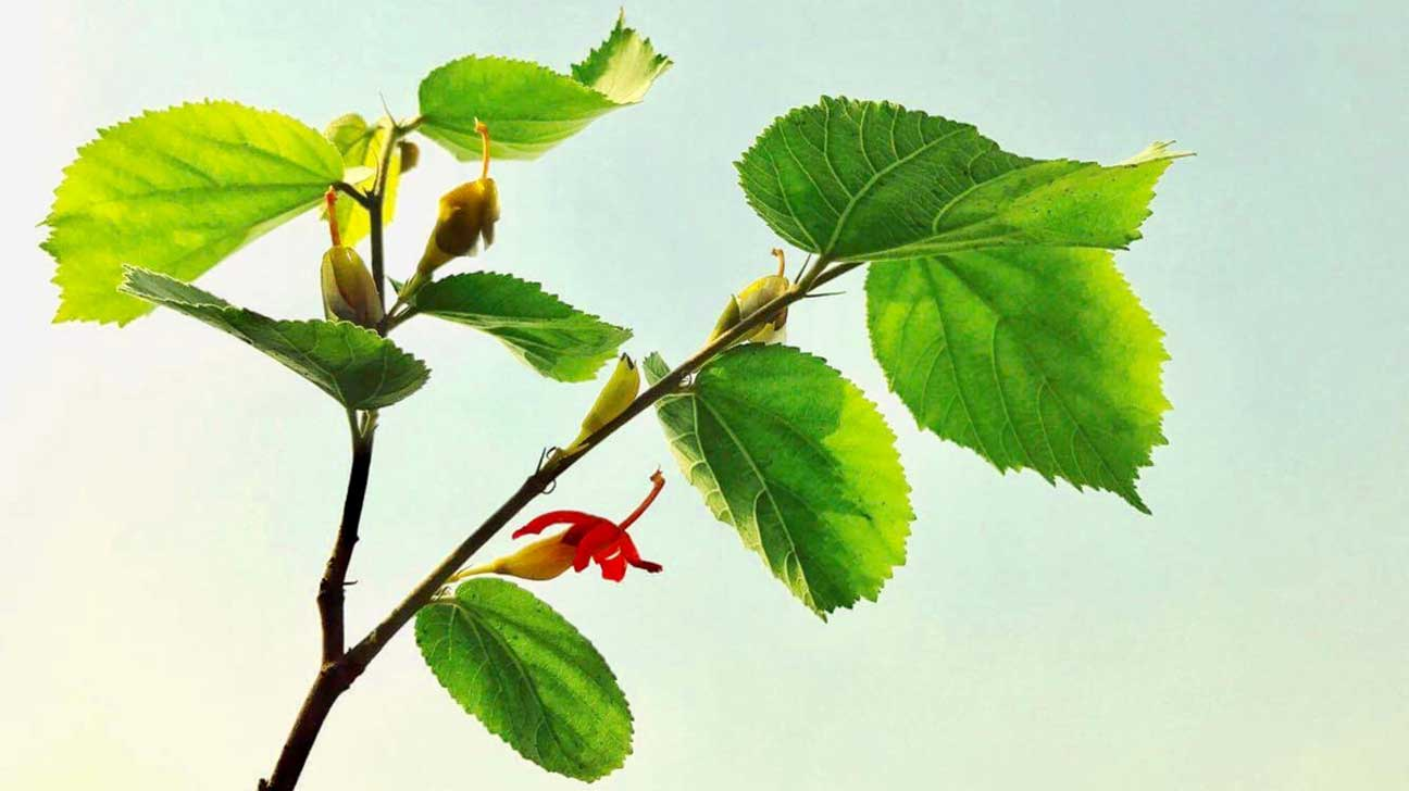 Gymnema Sylvestre Benefits