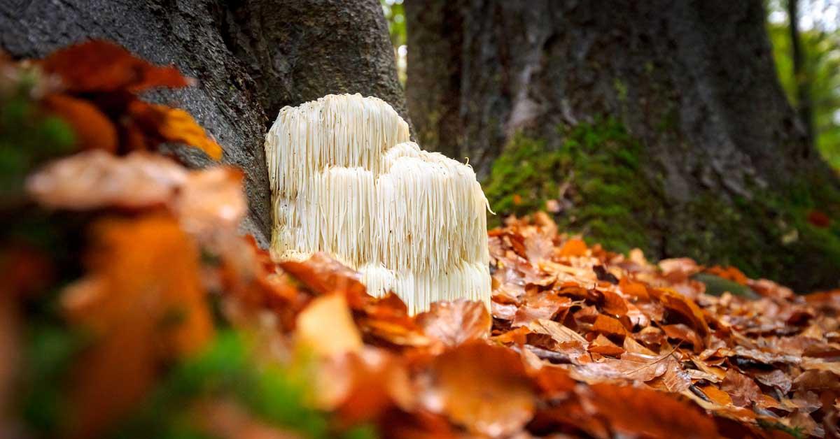 9 Health Benefits of Lion's Mane Mushroom (Plus Side Effects)