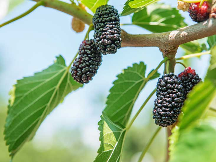 0eb48689fd3d Mulberries 101  Nutrition Facts and Health Benefits