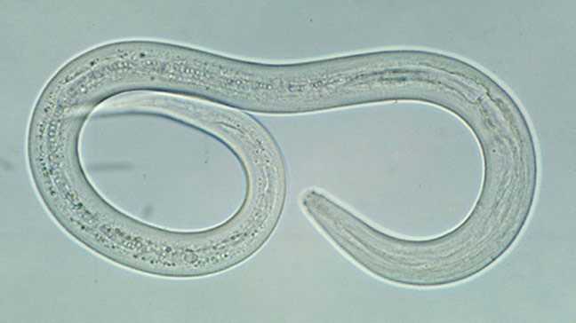 Hookworm Infections