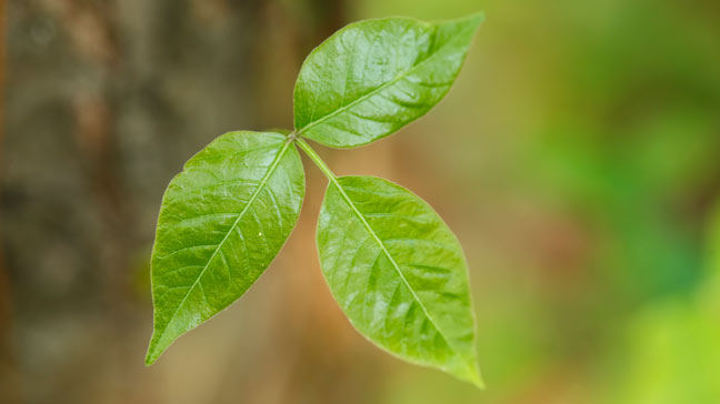 Poison Ivy Rash Treatment & Pictures of Poisonous Plants