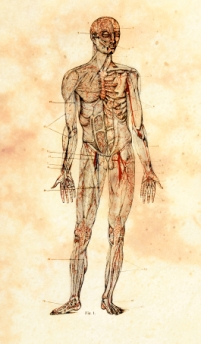 An illustration of the human body