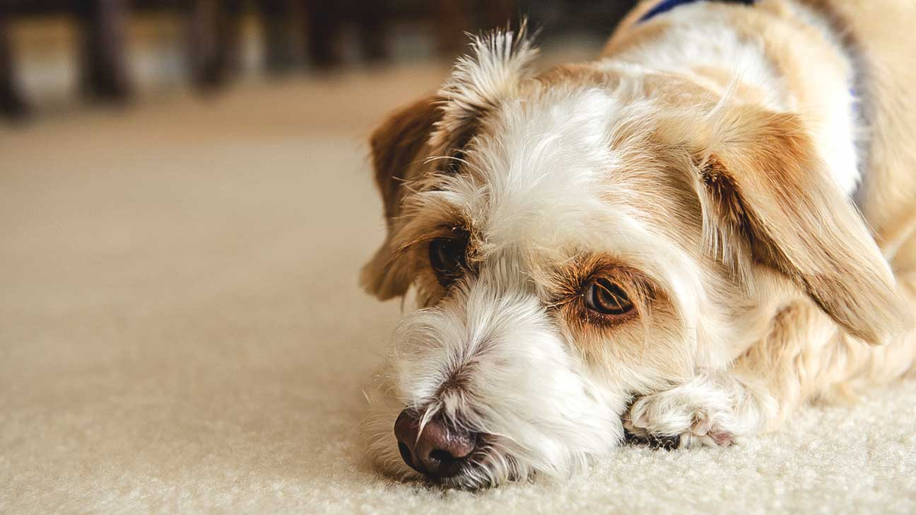 opioids and dogs