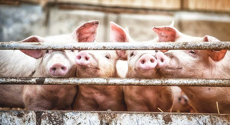 Concerns Over Antibiotic Resistant Gene Found on Pig Farm