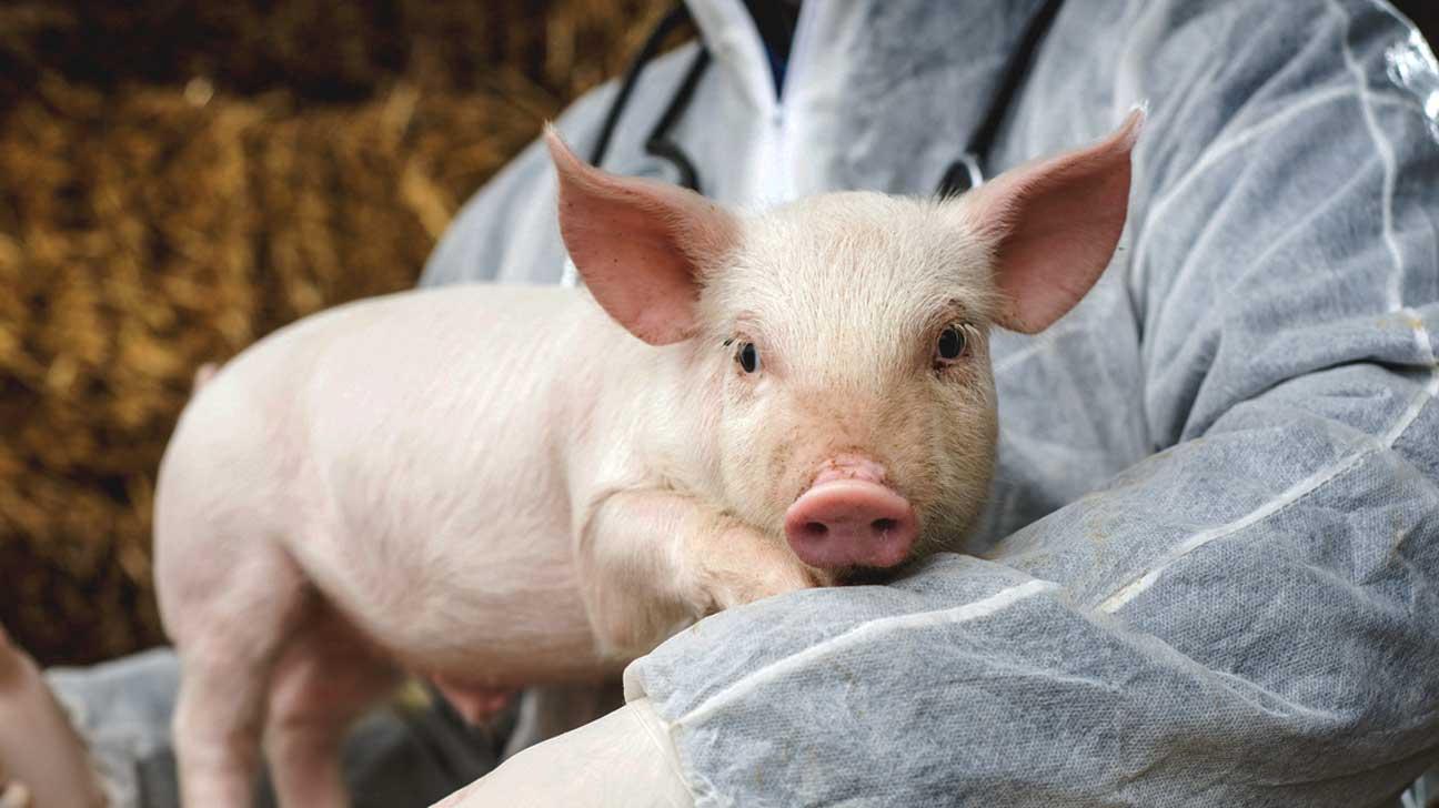 pigs organ transplant
