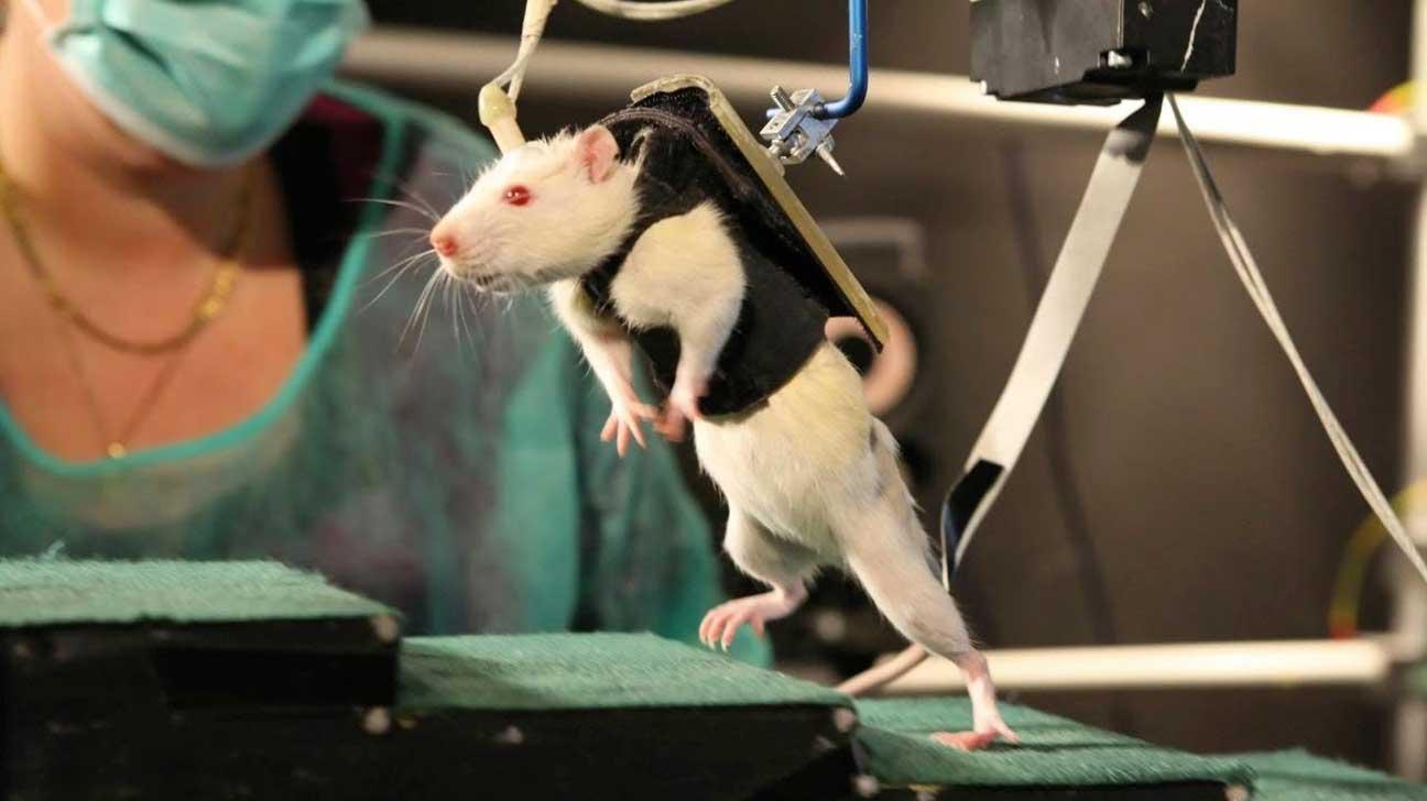rat walking