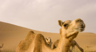 Study Confirms MERS Spreads from Camels to People