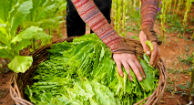 US Child Workers Sickened from Tobacco Leaves