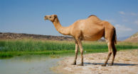 Camels Spreading Deadly MERS