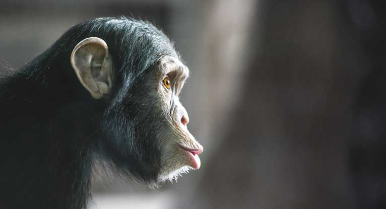 Herpes May Have Been Transmitted from Chimps to Humans