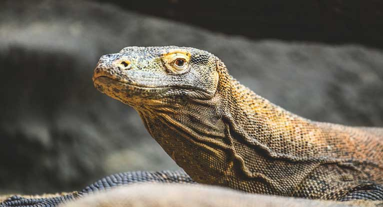 Komodo Dragon Blood Could Become Tool in Fight Against Bacteria