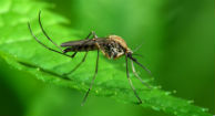 Chikungunya Virus Outbreak Likely in the U.S.