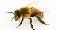 bee venom hiv research papers