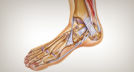 illustration of foot and ankle