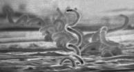 Syphilis bacteria