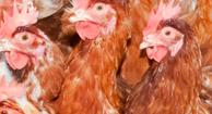 Antibiotic farmed chicken