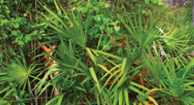 Can Saw Palmetto Treat BPH?