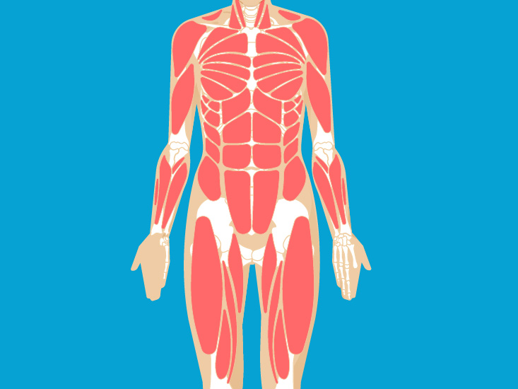Muscular System Anatomy Diagram Function Healthline