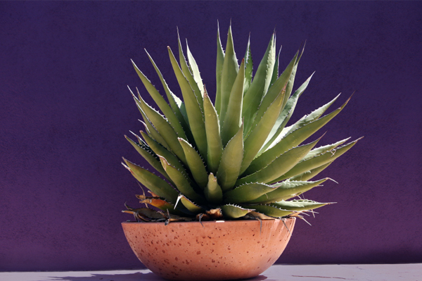 Agave Syrup as a Diabetes-Friendly Sugar Substitute?