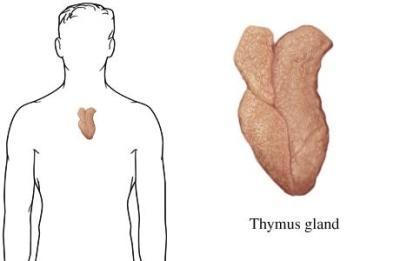 the pancreas or the thymus: who's to blame for diabetes?, Skeleton