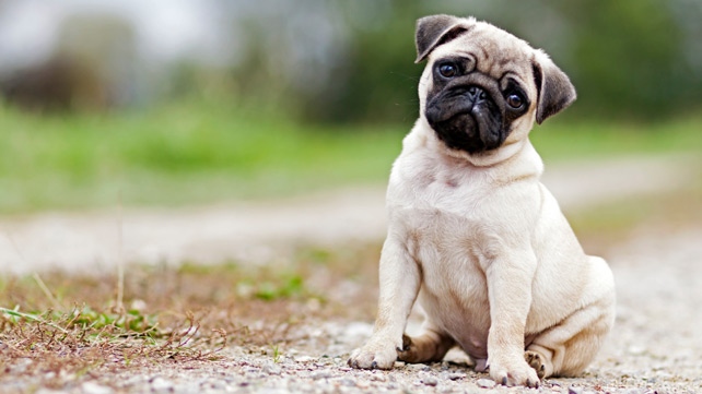 pug sitting outside