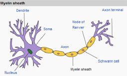 Diagram of the Myelin Sheath