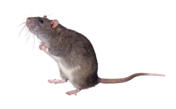 A bipolar mouse