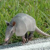 A baby 9-band armadillo, native to the southern U.S.