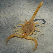 Bark Scorpion of Arizona, photo courtesy of Musides at en.wikipedia, CC BY-SA 3.0
