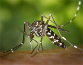 Asian tiger mosquito, Aedes albopicts