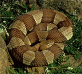 Broad-banded Copperhead Snake