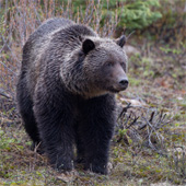 Photo of a brown bear (grizzly) in the wild.