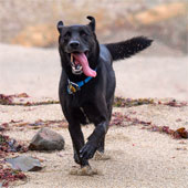 Toby, Paul's Labrador retriever/border collie mix.