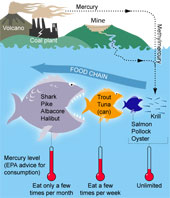 Mercury Food Chain