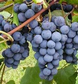 Fall Flavors - grapes on vine.