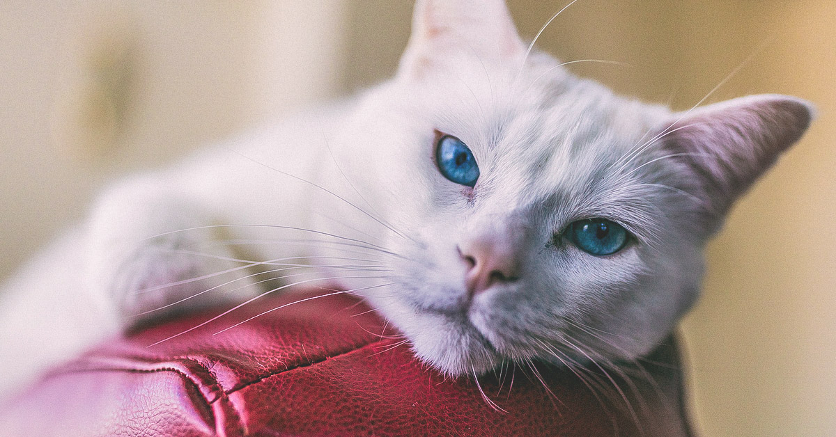 Cat Scratch Fever: Causes, Symptoms, and Diagnosis