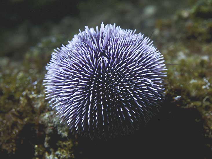 sea urchin sting treatment removal and long term effects