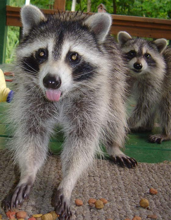 cute raccoon, sticking tongue out