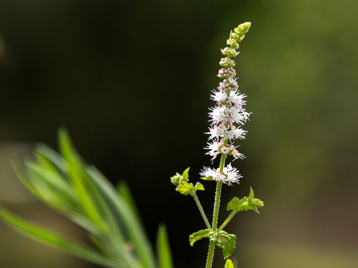 Black cohosh increase libido