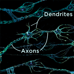 nerves with axons and dendrites