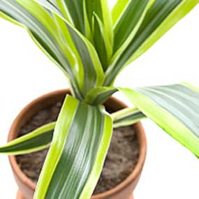 11 Best Air Purifying Plants  Naturally Clean the Air in Your HomeCorn Plant Dracaena Leaf
